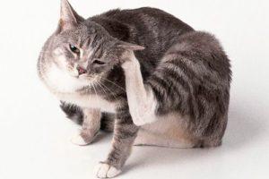 Кот чешится