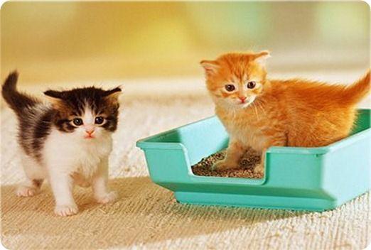 Как быстро котенка приучить к туалету