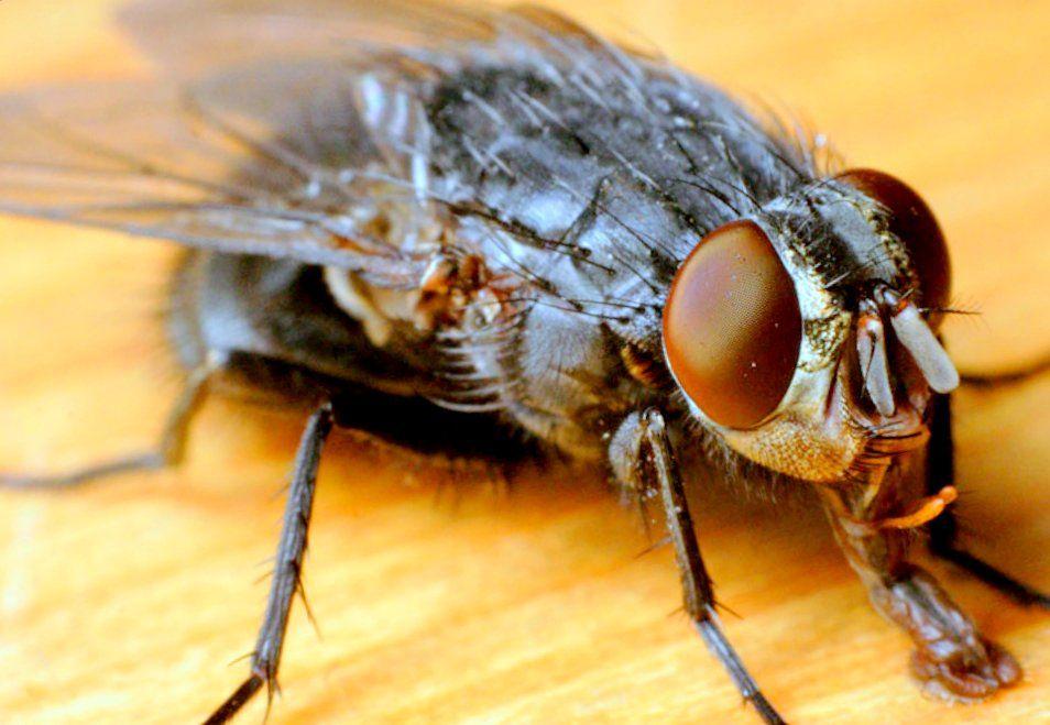 Чем потравить мух в доме