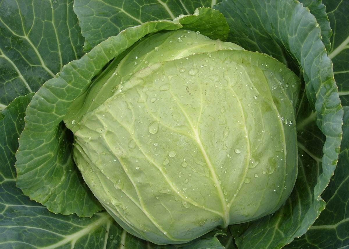 Как хранить капусту в подвешенном состоянии