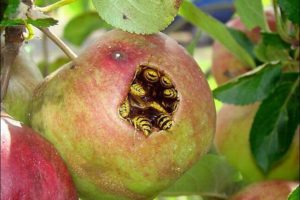 Осы в яблоке