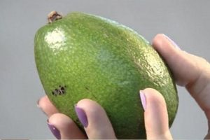 Незрелый авокадо