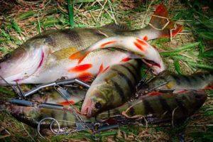 Свежепойманная рыба