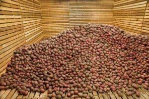 Картофель в подвале