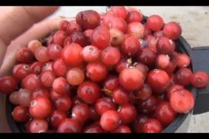 Незрелые ягоды клюквы