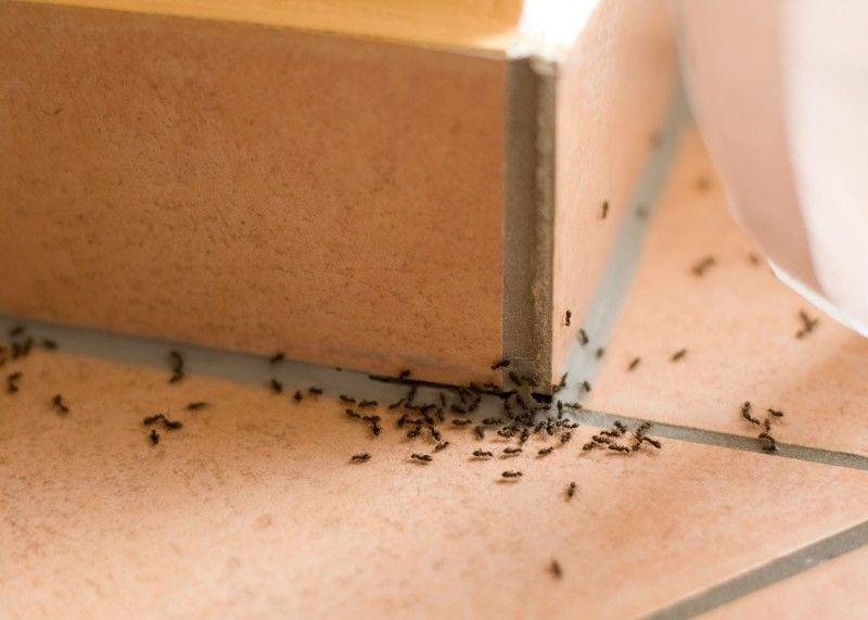 В ванной завелись мелкие муравьи
