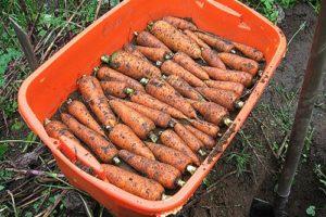 СОбранная с грядок морковь