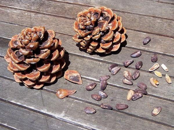 Как чистить кедровые орешки: избавляемся от скорлупы и шелухи проверенными домашними способами